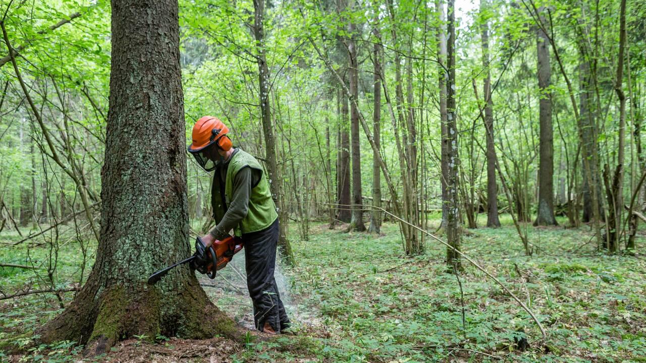 Forêt de Bialowieza: Varsovie accuse la CJUE de partialité