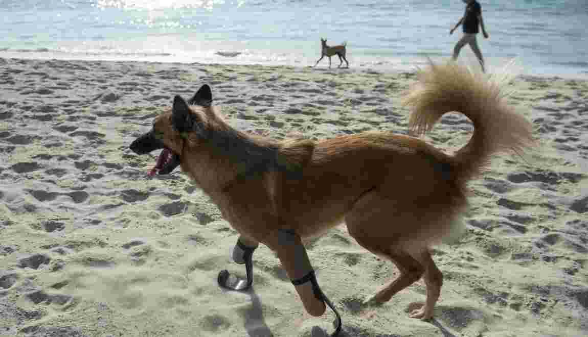 En Thaïlande, un chien équipé de prothèses à la Pistorius