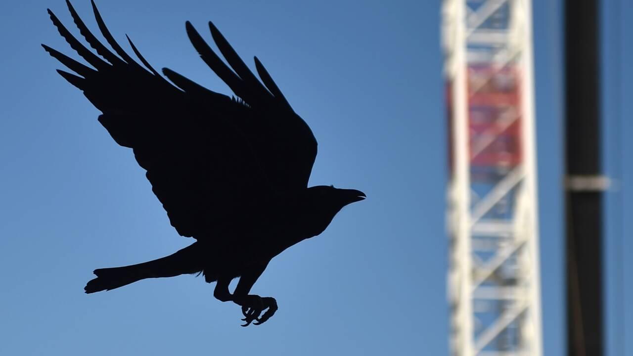 Les corbeaux calédoniens plus âgés s'embêtent moins pour faire leurs outils (étude)