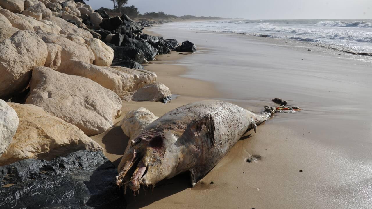 Record d'échouages de dauphins sur la côte atlantique