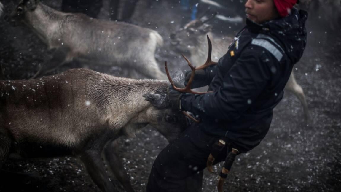 La périlleuse transhumance des rennes en Laponie suédoise