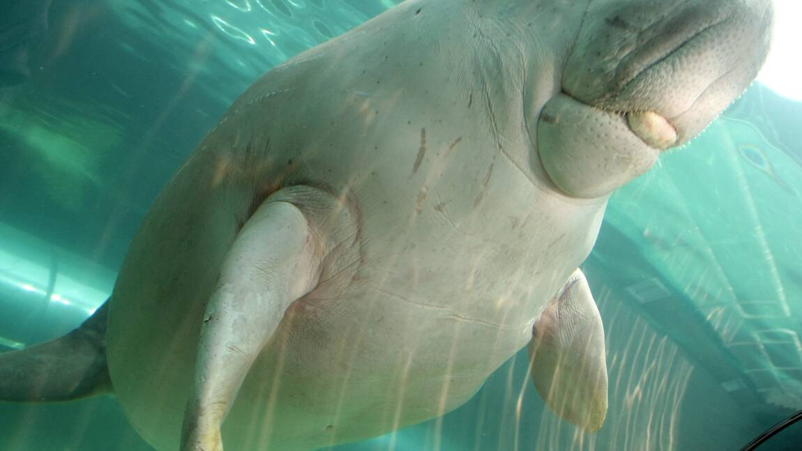 Nouvelle-Calédonie: les dugongs menacés de disparition par le braconnage