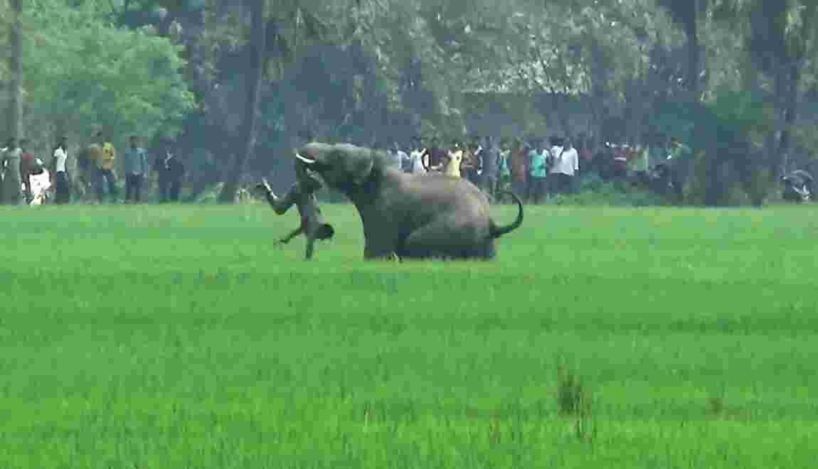 En Inde, une personne tuée chaque jour par un éléphant ou un tigre