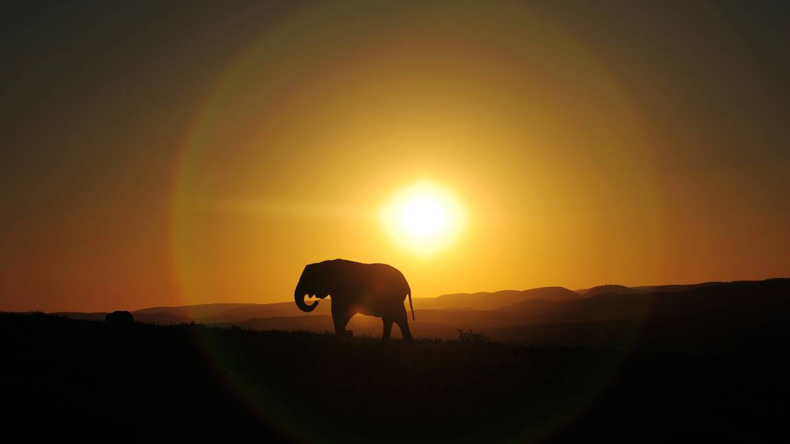 Les éléphants se font noctambules pour échapper aux braconniers