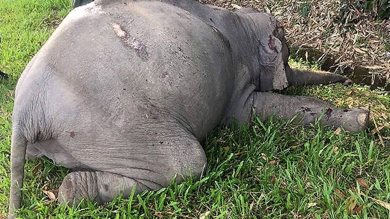Malaisie: un éléphant tué par un car de touristes