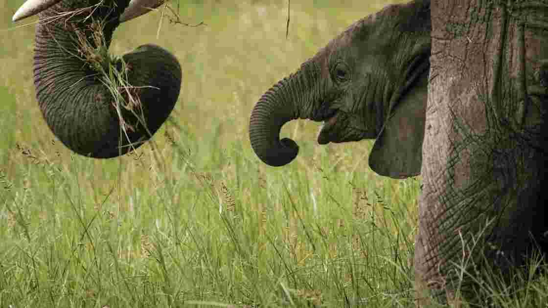 Les éléphants de différentes espèces ne s'accouplent plus entre eux
