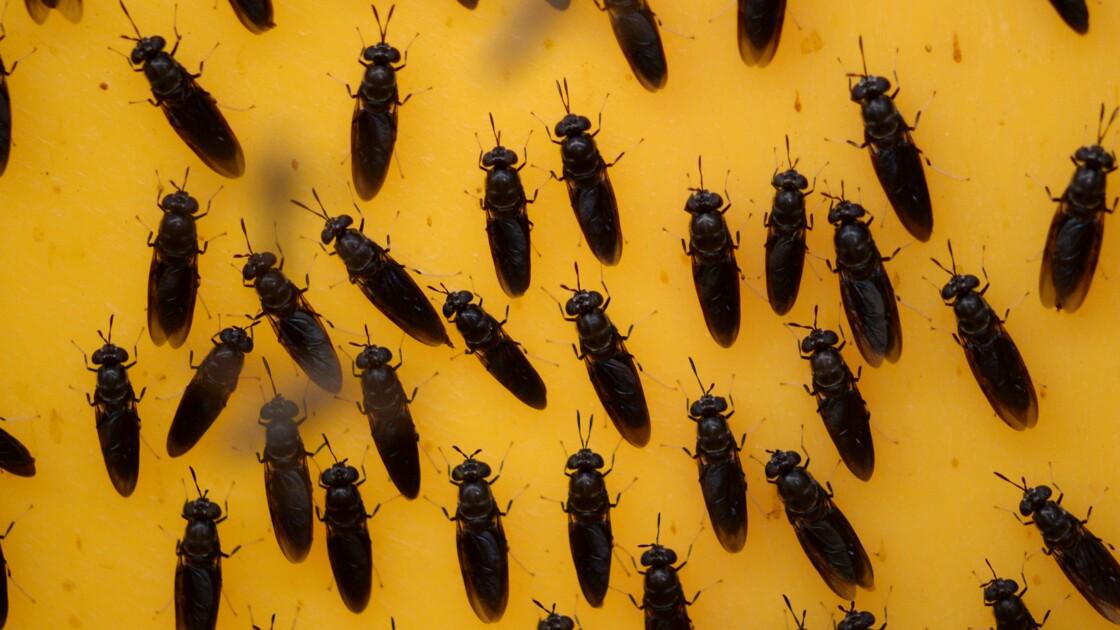 Ver de farine et mouche soldat noire: délices industriels pour animaux