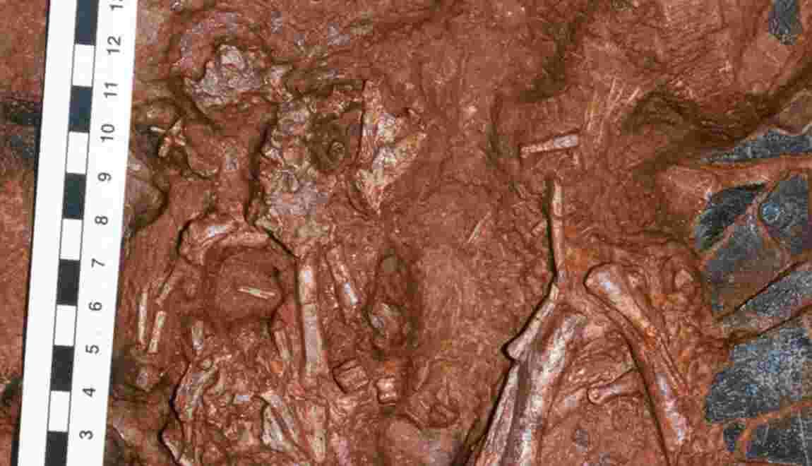"""Un gros """"bébé"""" dinosaure démasqué après des années de recherche"""