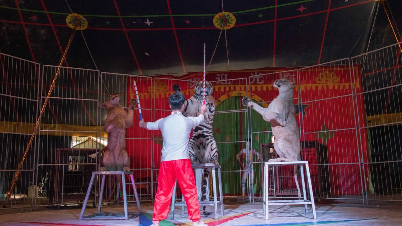 En Chine, des cirques accros à leurs animaux sauvages