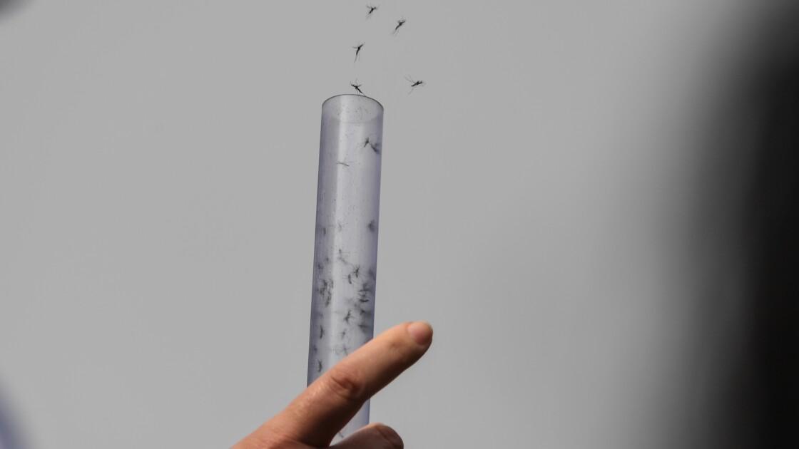 Des millions de moustiques contre la dengue et le zika à Rio
