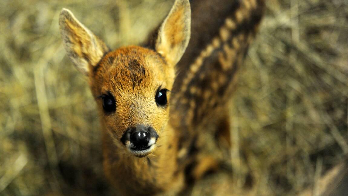 "Un braconnier américain condamné à visionner ""Bambi"""