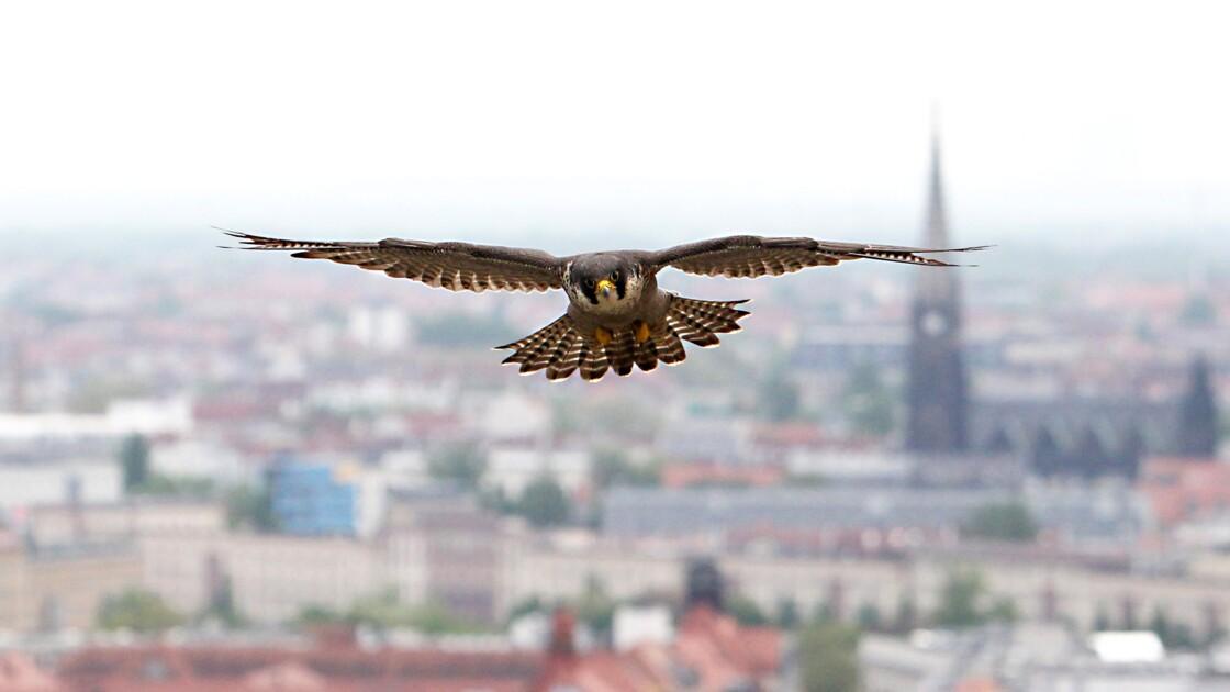 Le faucon pèlerin, inspiration pour contrer des drones illégaux