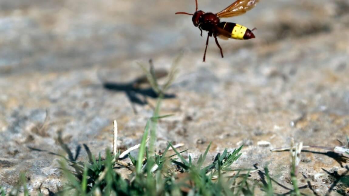 Frelon asiatique: les préfectures vont pouvoir ordonner la destruction des nids