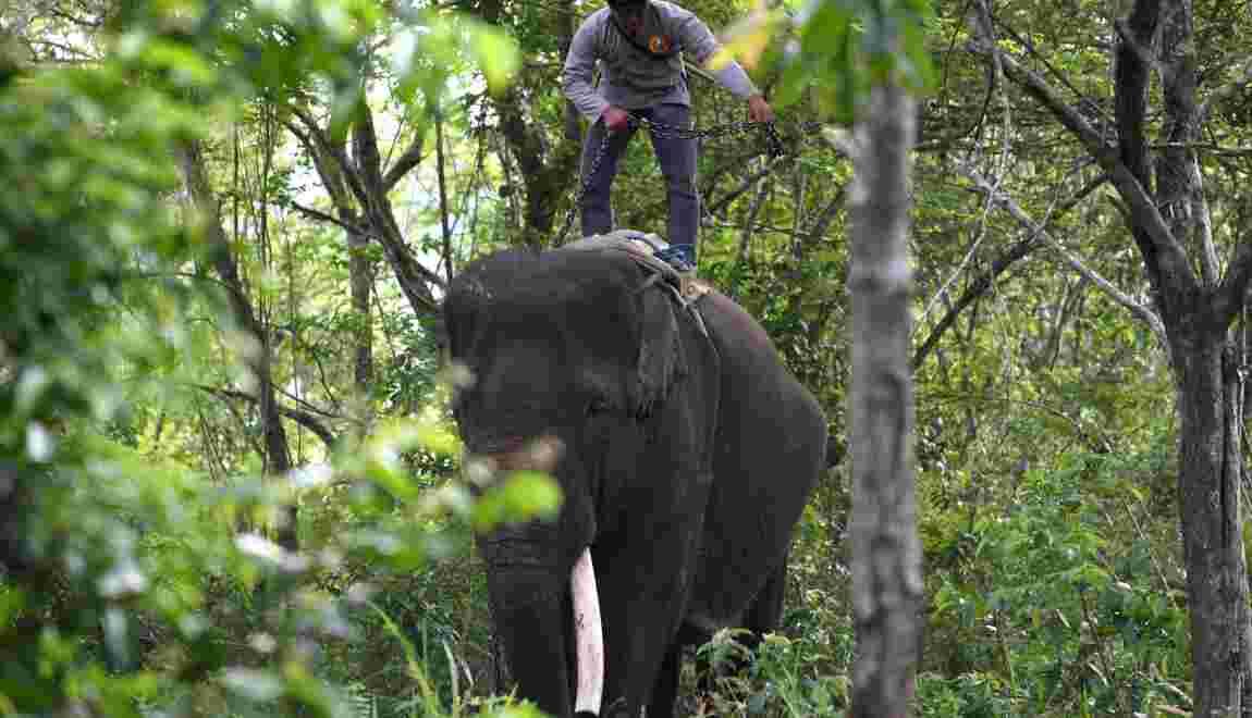 Sumatra: des éléphants patrouilleurs sauvent leurs cousins sauvages