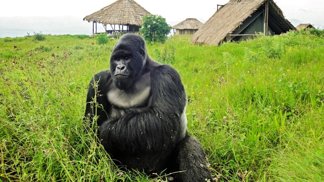 RDC : deux nouveaux bébés gorilles de montagne dans les Virunga