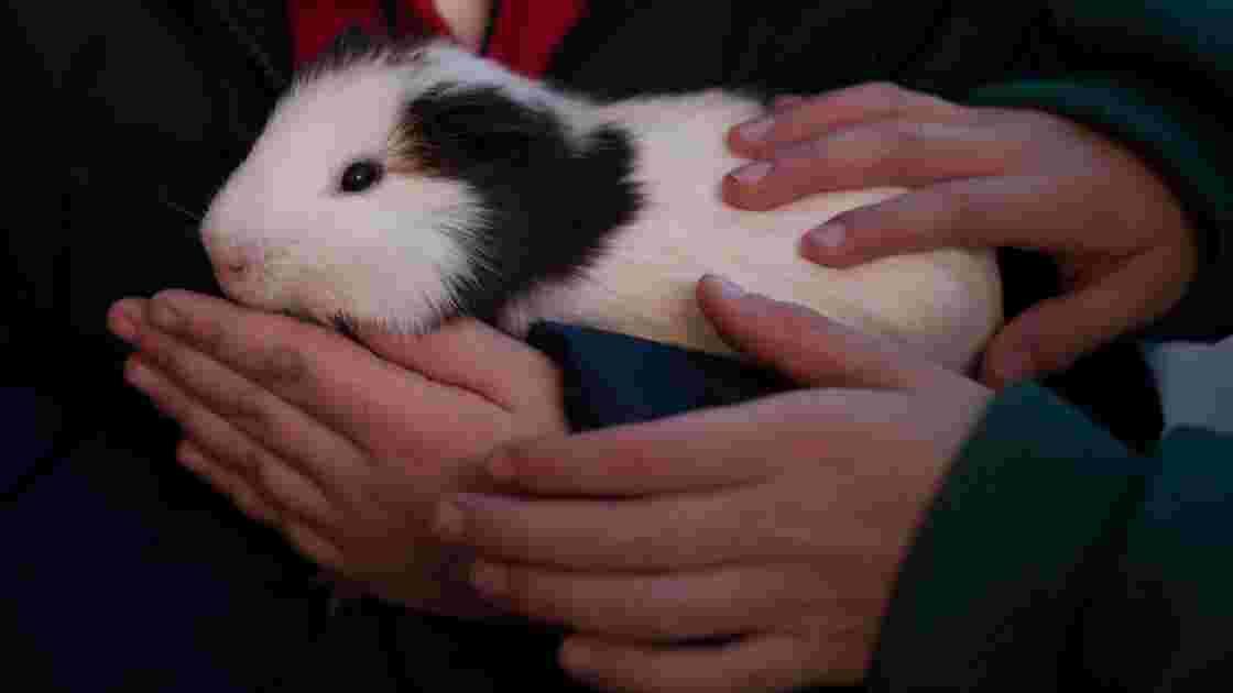 Effectifs en hausse pour le grand hamster d'Alsace, espèce menacée