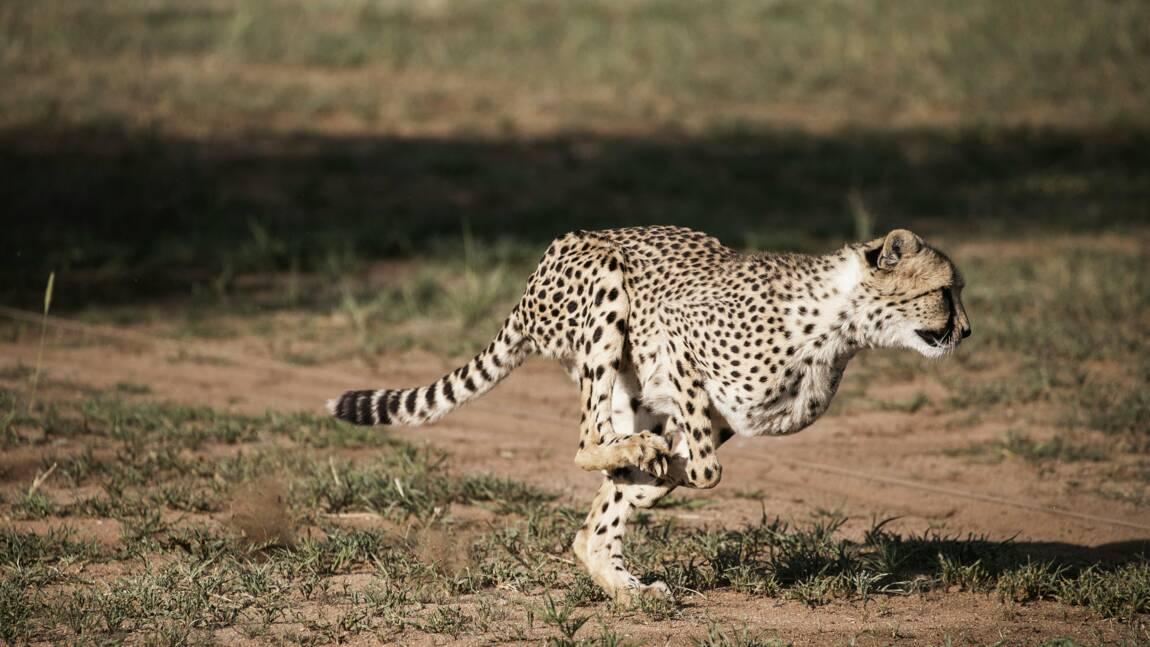 Le guépard court tout droit vers son extinction