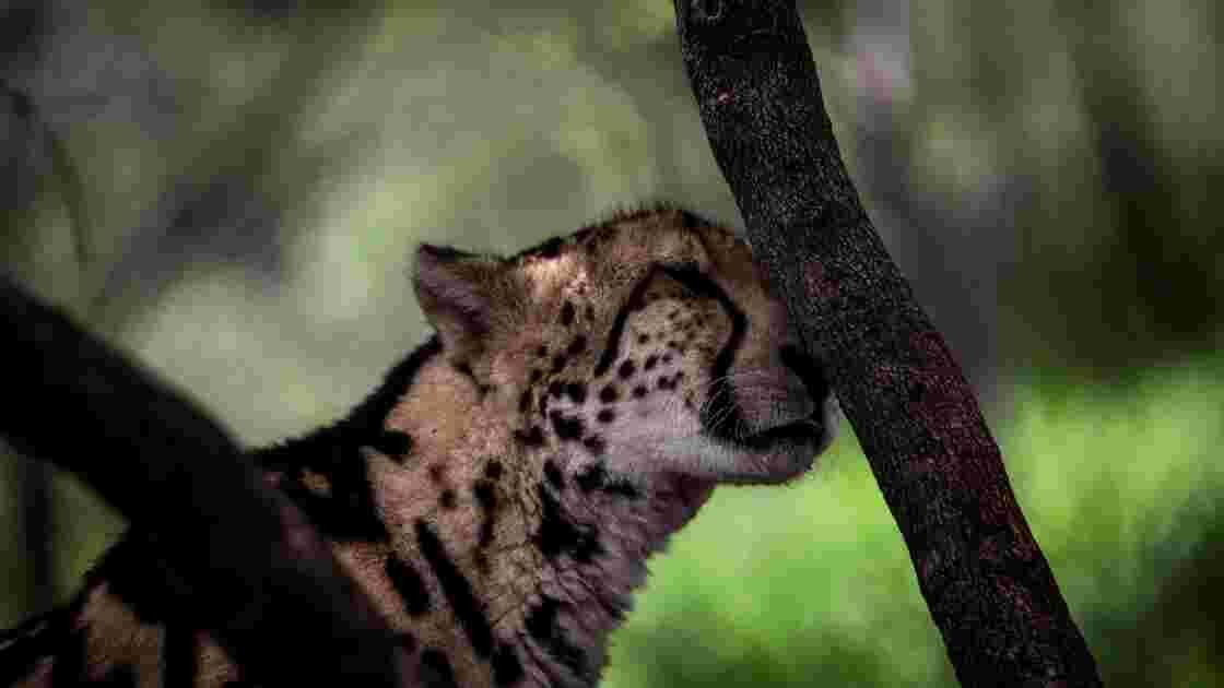 Mobilisation pour sauver les guépards, menacés d'extinction