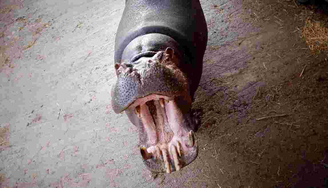 Jumbo l'hippopotame reste dans son cirque après le rejet du recours d'une association