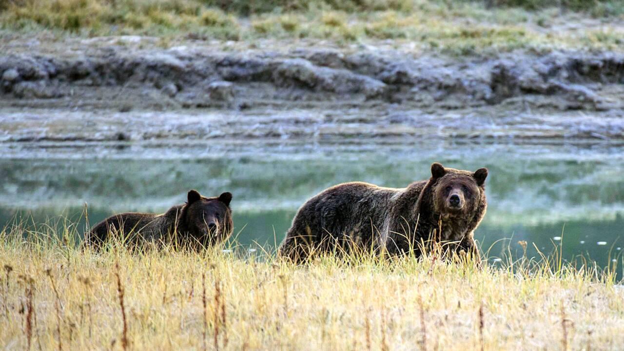 Un juge américain sauve la peau des grizzlis du parc de Yellowstone