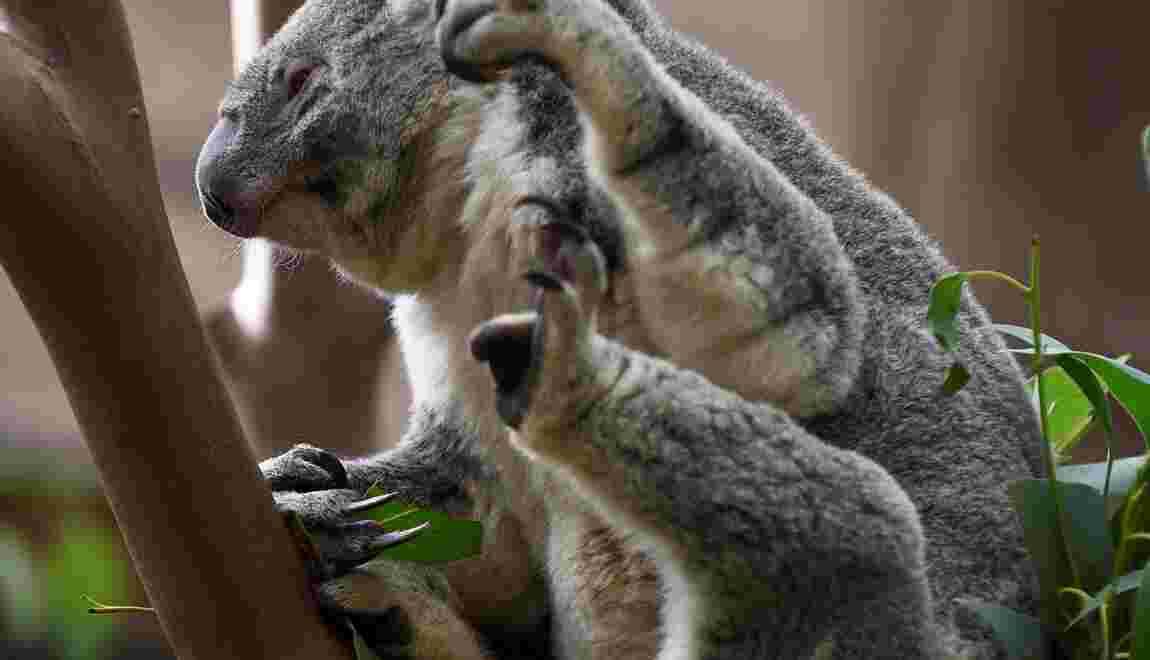 Un zoo belge perd deux de ses trois koalas en moins d'un mois