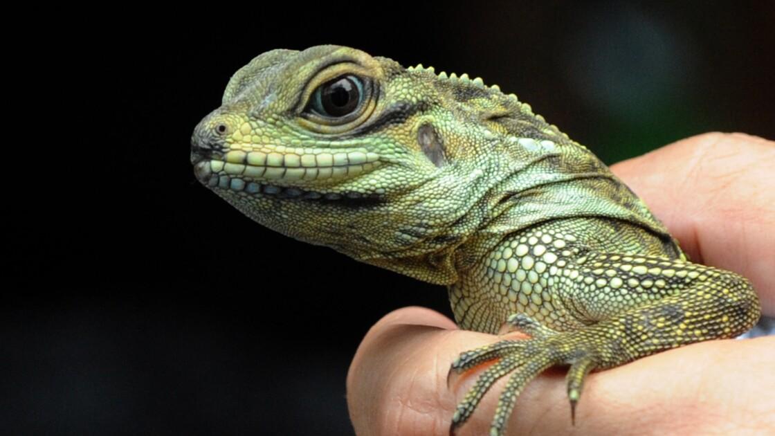 Des trafiquants philippins vendent des reptiles menacés sur Facebook