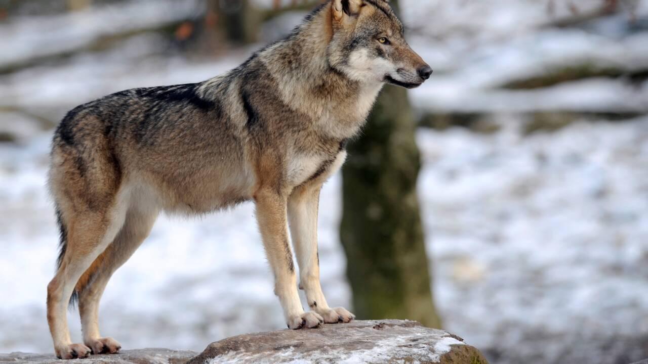 Le loup peut s'habituer à l'homme et l'approcher de près