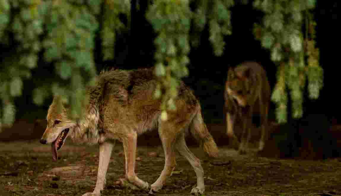 Présence du loup signalée à la limite entre le Tarn et l'Hérault