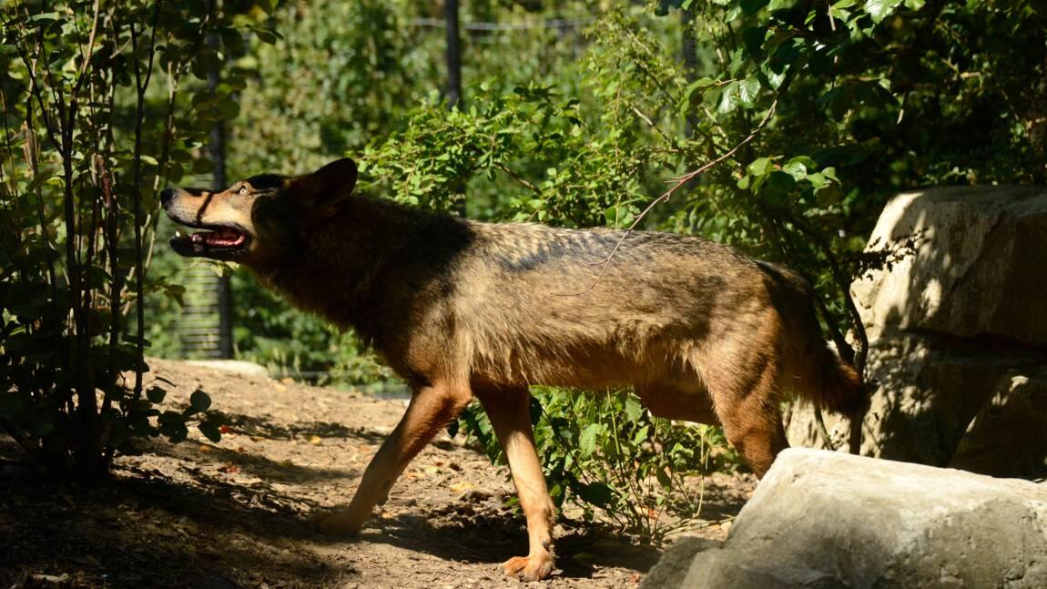 L'abattage supplémentaire de deux loups autorisé