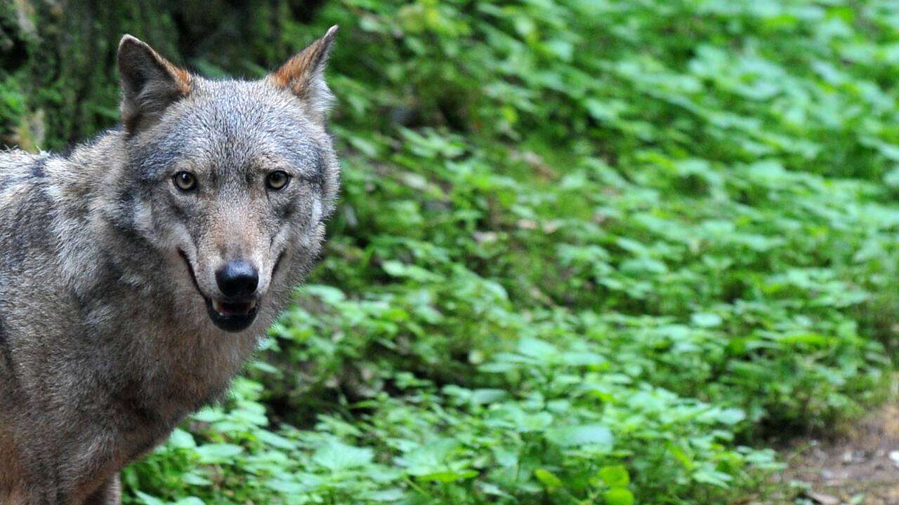 L'Italie gagnée par la guerre du loup