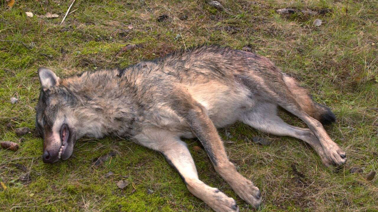 Suède: la justice autorise de nouveau la chasse au loup