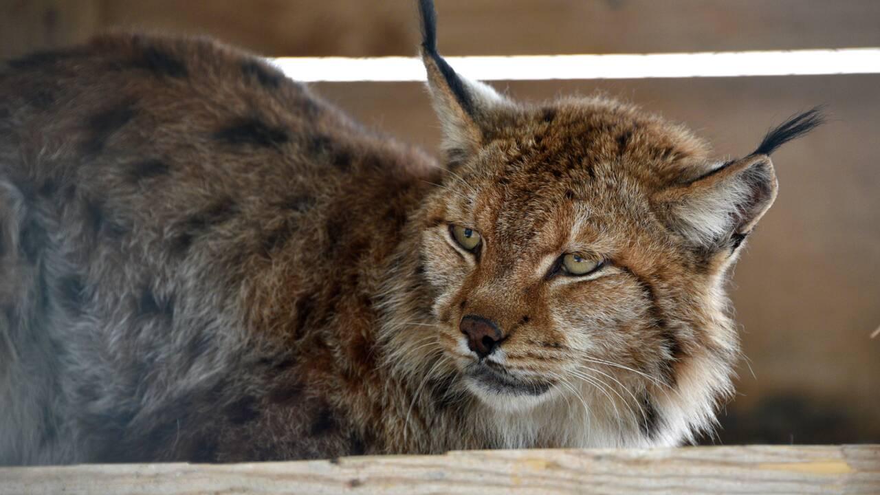 La bataille pour sauver le lynx des Balkans