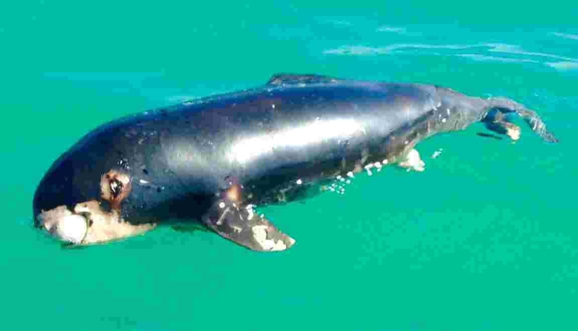 Au Mexique, le plus petit marsouin du monde menacé d'extinction