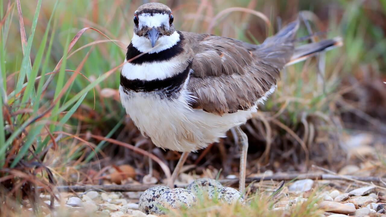 Canada: un nid d'oiseau protégé perturbe les préparatifs d'un festival