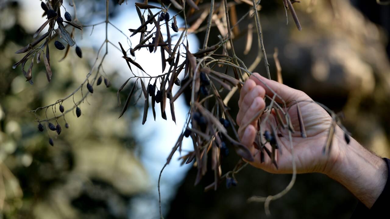 """La bactérie """"tueuse d'oliviers"""" détectée sur des oliviers en Corse"""