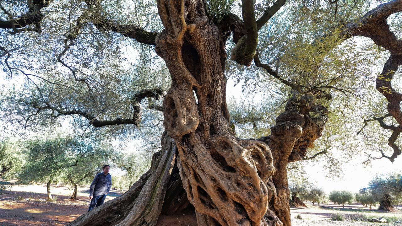 Les oliviers millénaires d'Espagne, des trésors en danger