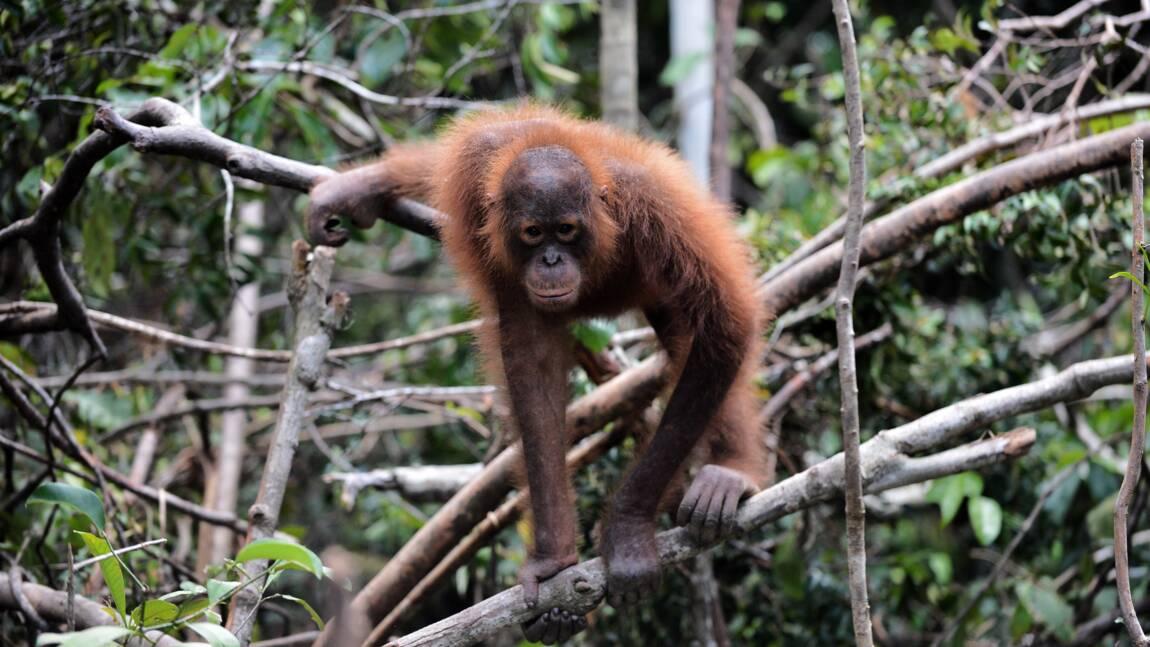 Chute alarmante de la population d'orangs-outangs de Bornéo
