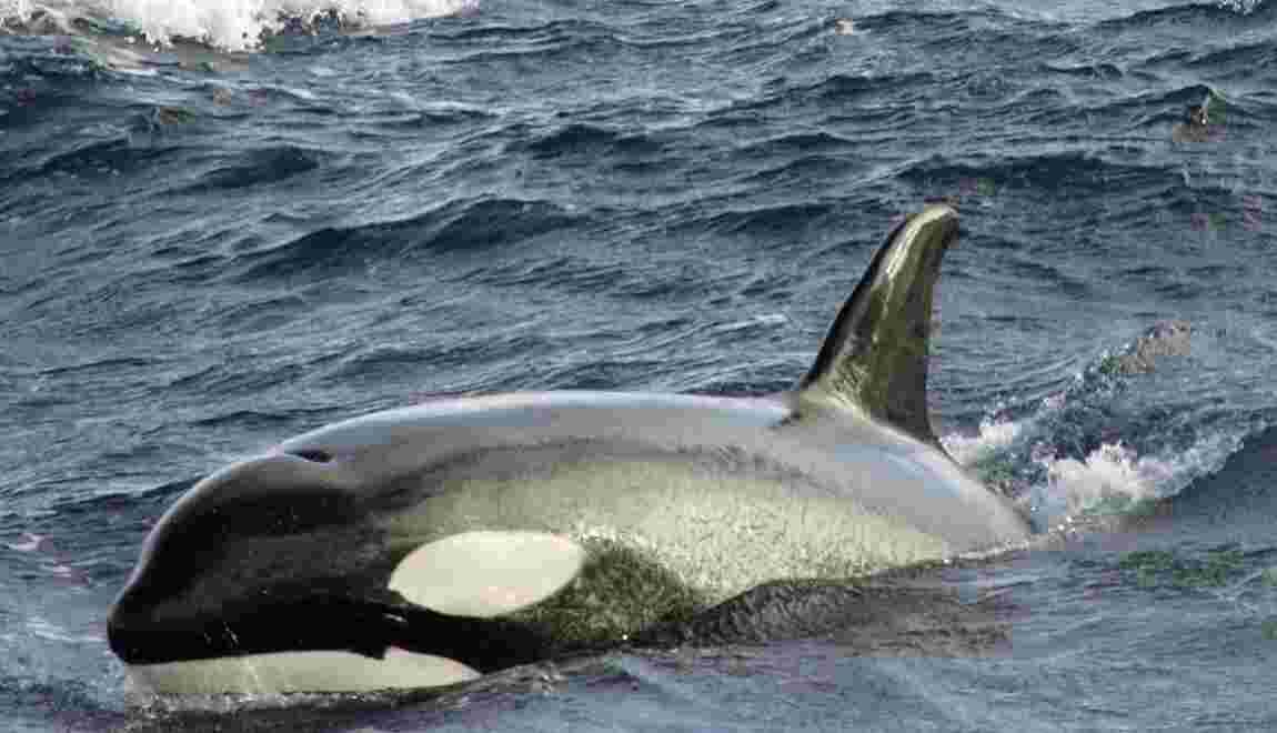 La concurrence mères-filles chez les orques expliquerait leur ménopause