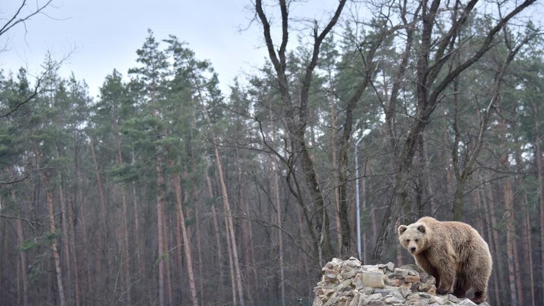 En Ukraine, une deuxième vie pour des ours maltraités