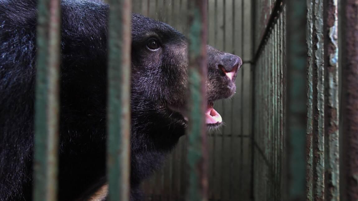 Au Vietnam, les ours d'élevage meurent car leur bile n'a plus la cote