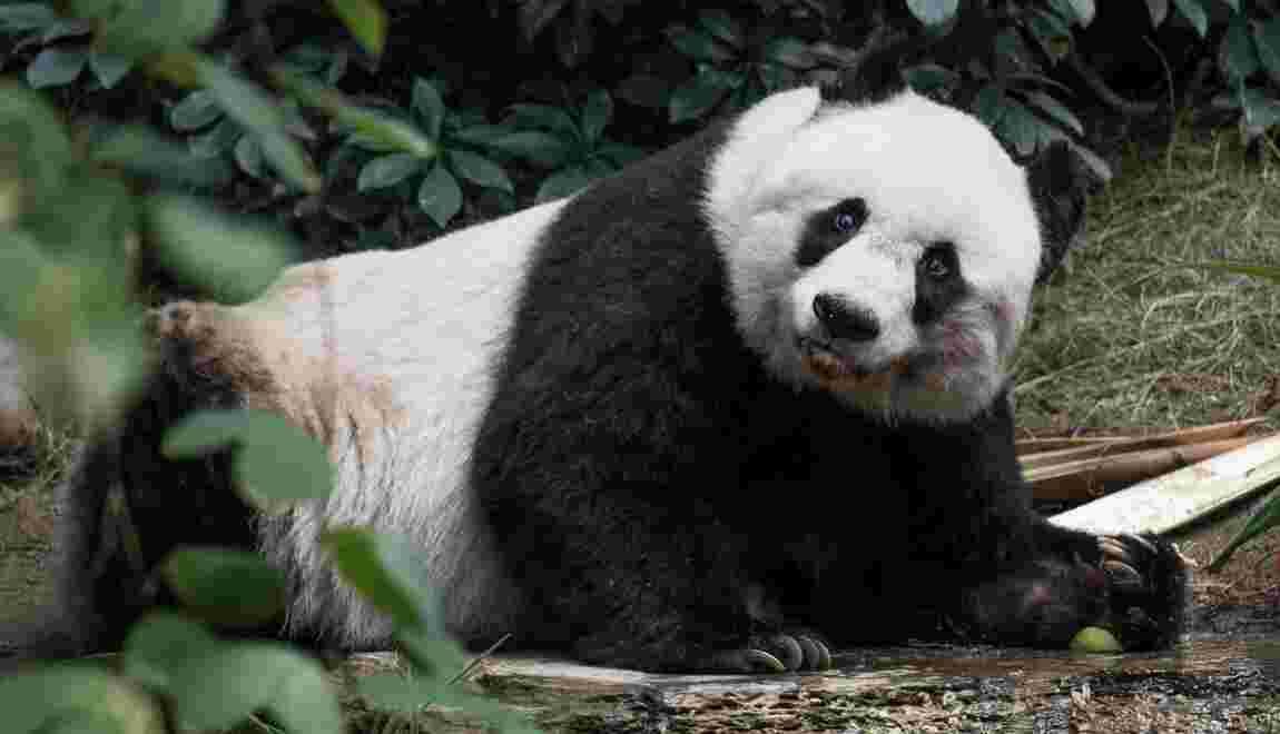 Le panda géant menacé par son isolement montagneux