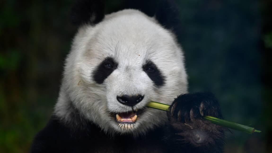Le panda géant en meilleure forme mais menacé par le changement climatique