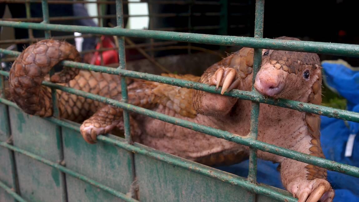 Indonésie: 101 pangolins vivants saisis sur un bateau