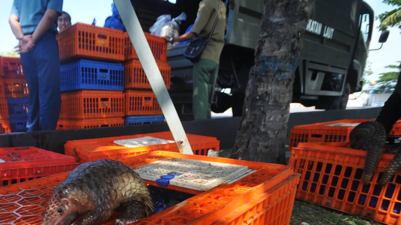 Après la Malaisie, des pangolins saisis en Indonésie