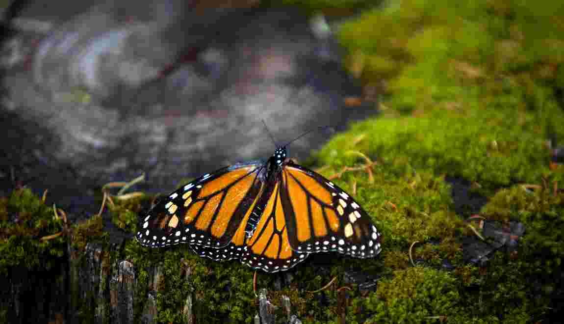 Le mur de Trump pourrait perturber les papillons monarques