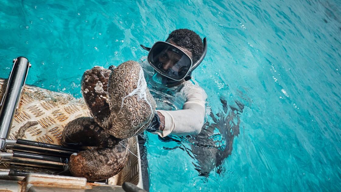 Les holothuries, le trésor convoité des eaux de Nouvelle-Calédonie