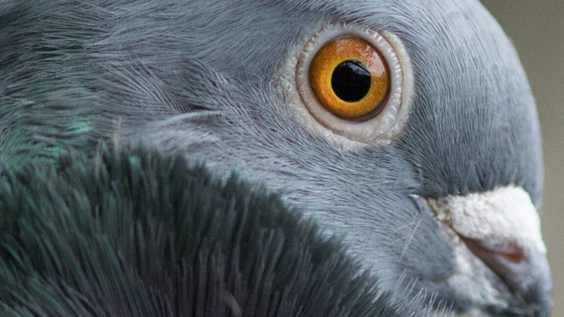 Les pigeons capables de distinguer les concepts du temps et de l'espace