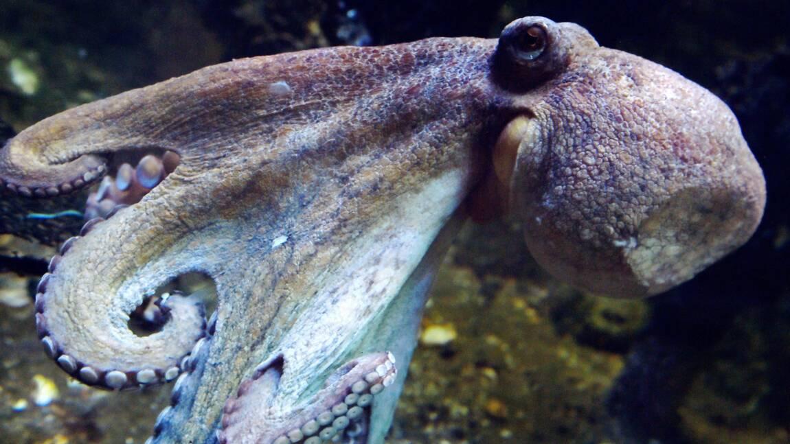Des scientifiques créent un tissu artificiel de camouflage inspiré du poulpe
