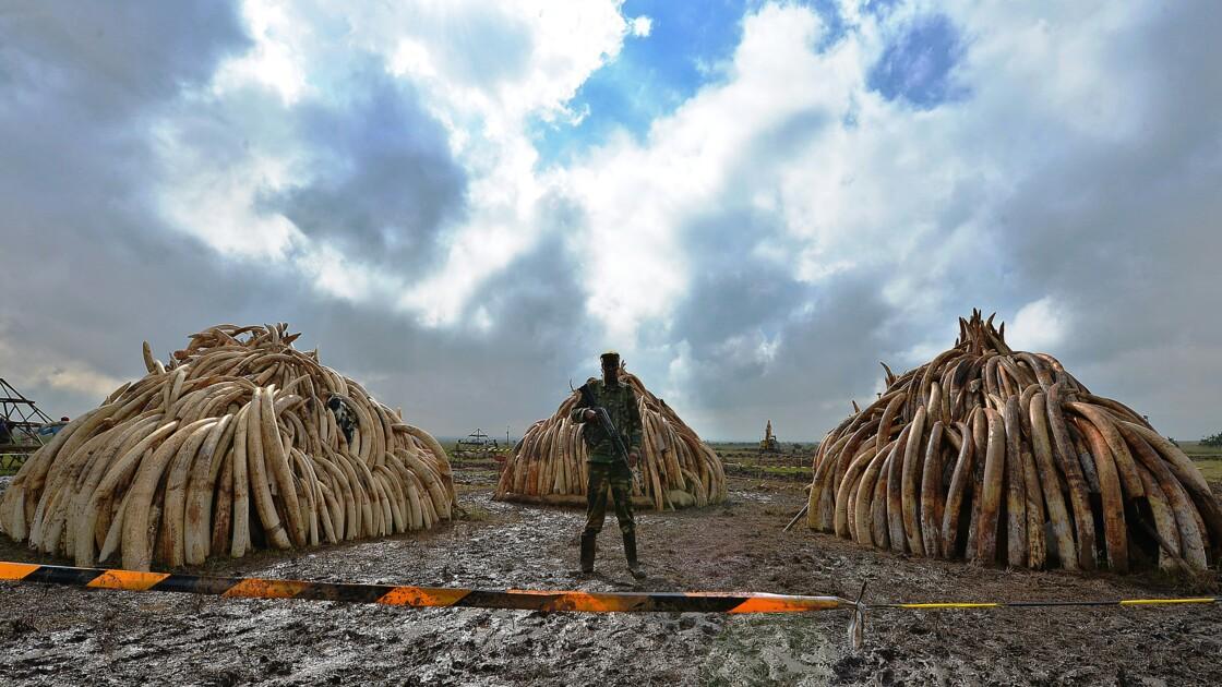 Afrique: de la poudre pour suivre à la trace les trafiquants d'ivoire
