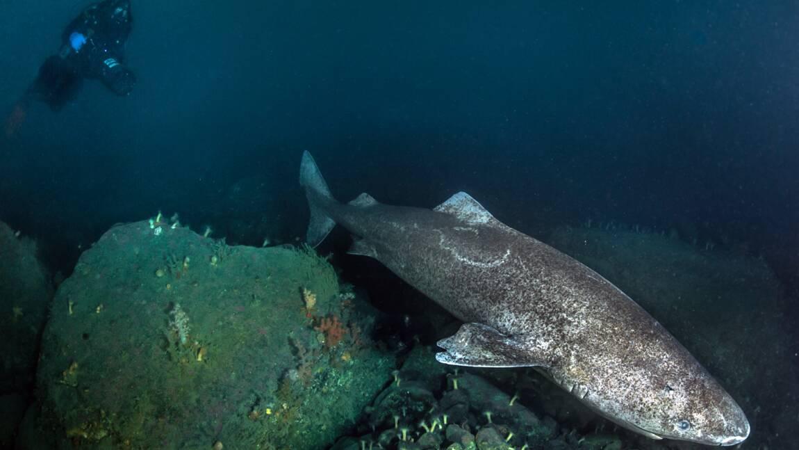 Les requins du Groenland pourraient vivre jusqu'à 400 ans